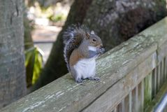 Close up of squirrel eating on a wooden railing. Close up of brown and white squirrel eating food while sitting on a wooden deck railing Royalty Free Stock Image