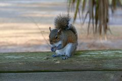 Close up of squirrel eating on a wooden railing. Close up of brown and white squirrel eating food while sitting on a wooden deck railing Royalty Free Stock Photography