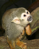 A Close Up of a Squirrel Monkey Stock Photography