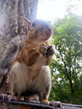 Close up. Squirrel on the roof eating a walnut Royalty Free Stock Photography