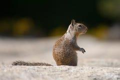 Close-up of a squirrel (Sciurus carolinensis) Stock Image