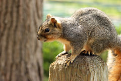 Close up of squirrel Stock Image