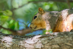 Close-up of squirrel Royalty Free Stock Image