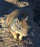 Interested Squirrel Close Up stock image