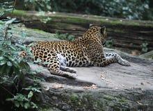 Sri Lankan leopard, Panthera pardus kotiya royalty free stock photo