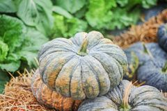 Close up stacks of green pumpkins on the rice straw in vegetable farm , nature background royalty free stock photography