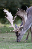 Close up of a stag grazing at Charlecote Park Stock Images