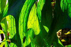 Close Up of Staghorn Fern Leaf Royalty Free Stock Photo
