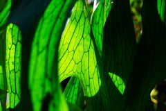 Close Up of Staghorn Fern Leaf Stock Photography