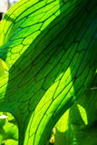 Close Up of Staghorn Fern Leaf Royalty Free Stock Image