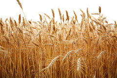 Close up stalks of wheat on a white Stock Images