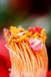 Close up stamen camellia flower Royalty Free Stock Photography