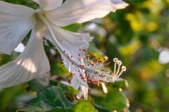 Close up of a stamen of a hibiscus flower Stock Image