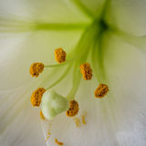 Close up of stamen of a lily Stock Photo