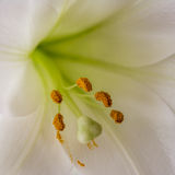 Close up of stamen of a lily Stock Photos