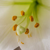 Close up of stamen of a lily Stock Image