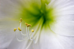 Close up of stamen on white amaryllis Royalty Free Stock Photography