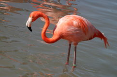 Close up of a standing Flamingo (Side view). This picture shows you a close up of a Flamingo from a side view. You can clearly see its eye and watery beak Royalty Free Stock Photography