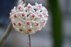 White Flower Hoya Carnosa stock photos