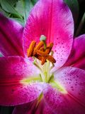 Stargazer Lily. Close-up of a Stargazer lily Stock Images