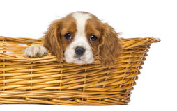 Close-up of a staring Cavalier King Charles Puppy, 2 months old royalty free stock image