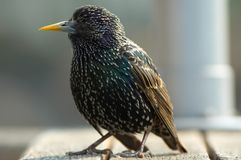 Close-up of a starling Royalty Free Stock Photo