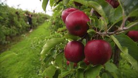 Apples swaying on a tree. A close up steady shot of red and ripe apples. The wind blows away the apples stock video footage