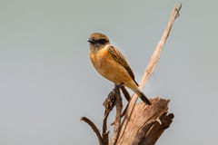 Close up of  Stejneger's Stonechat Stock Photo