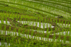 Close up of step rice farming plantation Stock Images