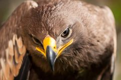 Close-up of a Steppe Eagle. Aquila Nipalensis. Bird of prey portrait Royalty Free Stock Images
