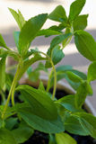 Close up of stevia plant Royalty Free Stock Photography