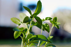 Close up of stevia plant in sunshine Royalty Free Stock Photography