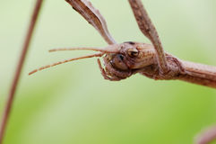 Stick insect. Close-up of a stick insect Royalty Free Stock Images