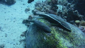 Close up of a sticking fish on giant turtle in the sea stock video footage