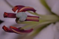 White Long Stem Lily Stigma Macro Shot. Close up of Stigma and Pollen from White Long Stem Lily using lumix camera with macro lens Royalty Free Stock Photography
