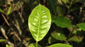 A green leaf in India. A close-up, still shot of a shiny, green leaf on a brown blurry background in India stock video footage