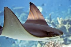 A sting ray. This is a close up of a sting ray royalty free stock photography