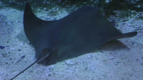 Close up a stingray underwater.  stock video footage