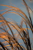Close up of the stipa plant in the wonderful sunset light Royalty Free Stock Photography