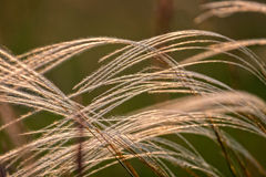 Close up of the stipa plant in the wonderful sunset light Stock Photos