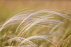 Close up of the stipa plant in the wonderful sunset light Royalty Free Stock Photo