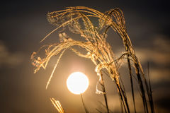 Close up of the stipa plant in the wonderful sunset light Royalty Free Stock Images