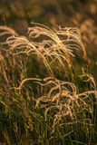 Close up of the stipa plant in the wonderful sunset light Stock Photo