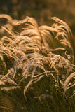 Close up of the stipa plant in the wonderful sunset light Royalty Free Stock Image