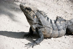 Close-up of Stoic Iguana. Iguana sunning himself in the tropics of Mexico Royalty Free Stock Photography
