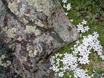 Close up of stone surface, lichen, and wildflowers Stock Photography