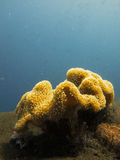 Close-up stony coral colony on Pulau Satonda reef in Indonesia stock images