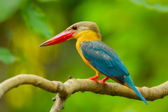 Close up of Stork-billed Kingfisher Stock Image