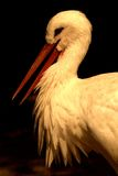 Close up of a stork / Ciconiidae. Close up of a stork at a shady place stock photography