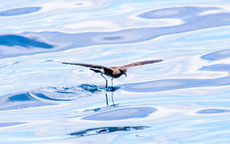 Close up of a Storm Petrel. Seemingly skating on the water Stock Photo